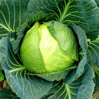Cabbage My Northwest Garden